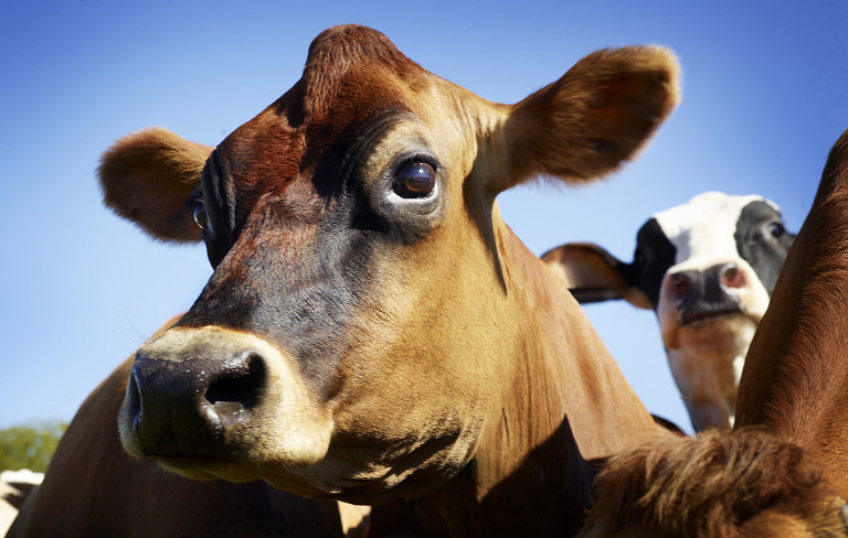 close up of brown cow