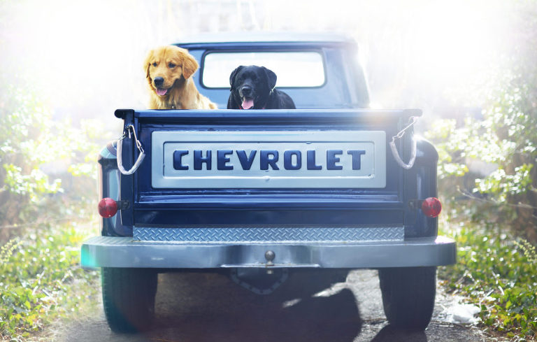 golden retriever and black lab sitting in the bed of a cheverolet truck