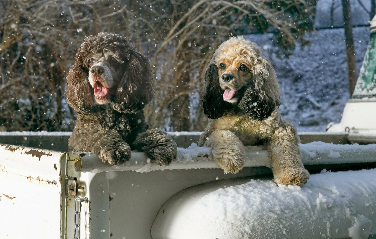 dogs in truck, winter