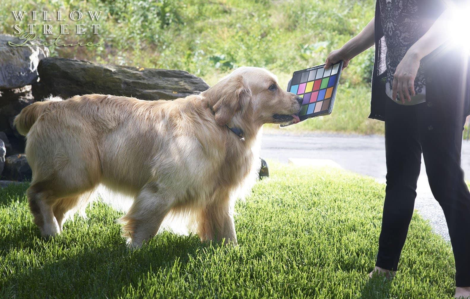 Behind the scenes, Pet portrait, golden retriever, outdoor