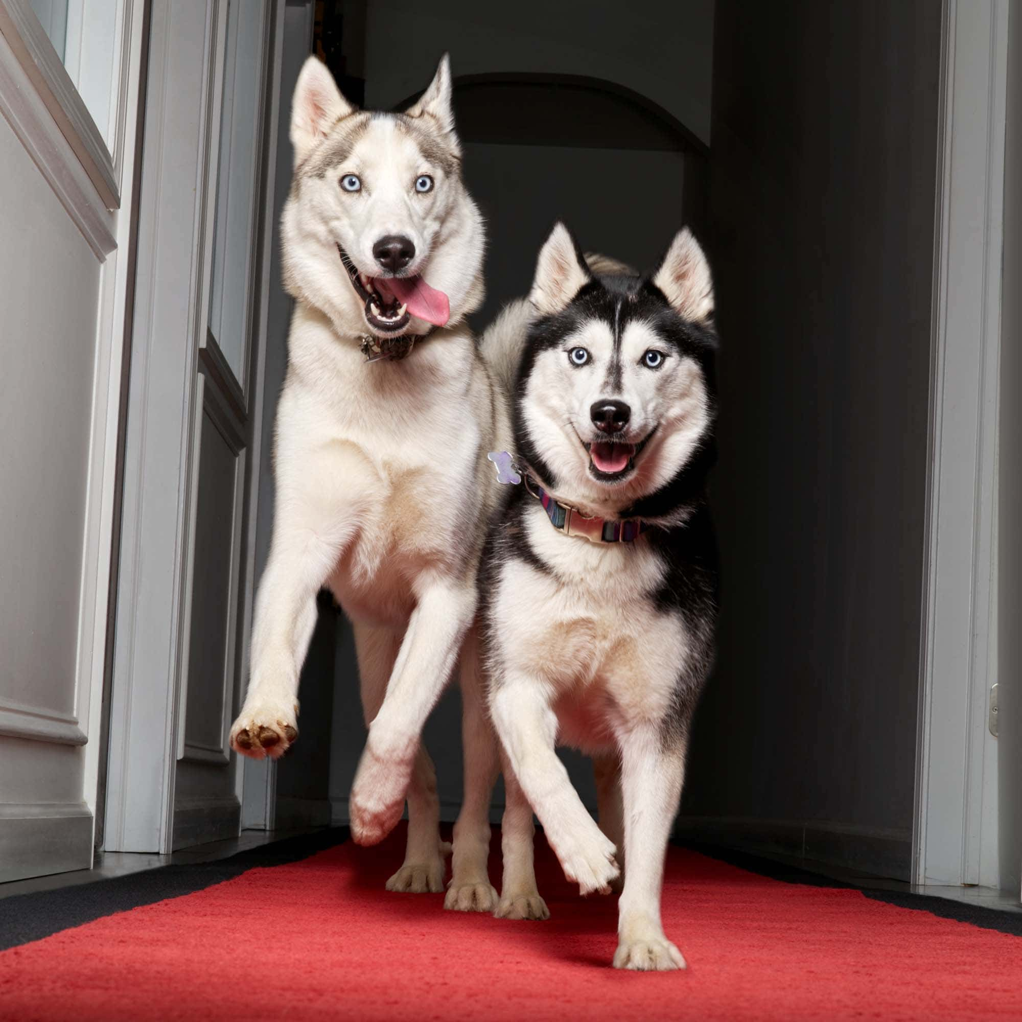 Pets-on-red-carpet